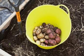 PotatoHarvest1