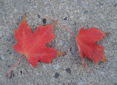 smc4 leaves