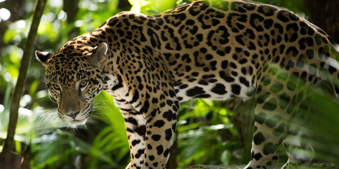 cockscomb-wildlife-sanctuary-jaguar