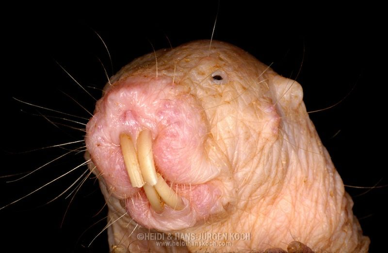 Portrait of a Naked Mole Rate with long teeth