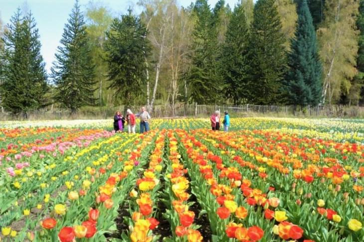Campo de tulipas na primavera em Bariloche. Chacra Danubio.