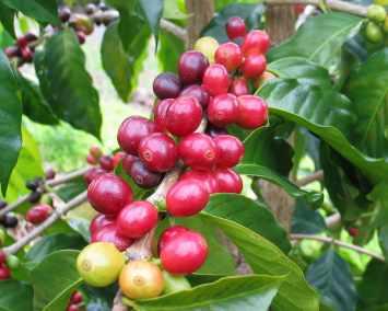2_specialty_coffee_arabica_variete maragogype_cafe_reunion