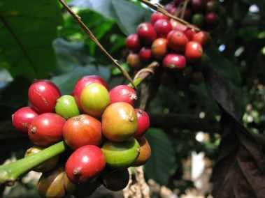 coffee arabica variete maragogype cafe reunion