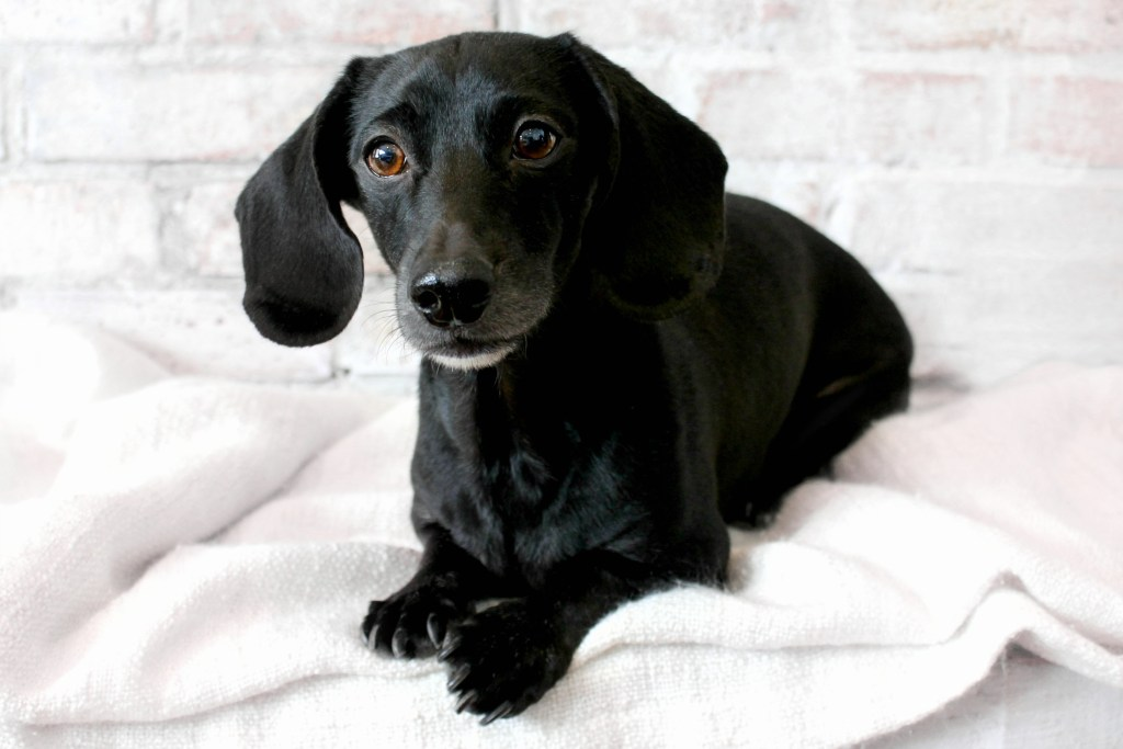 black dachshund lying down with white background