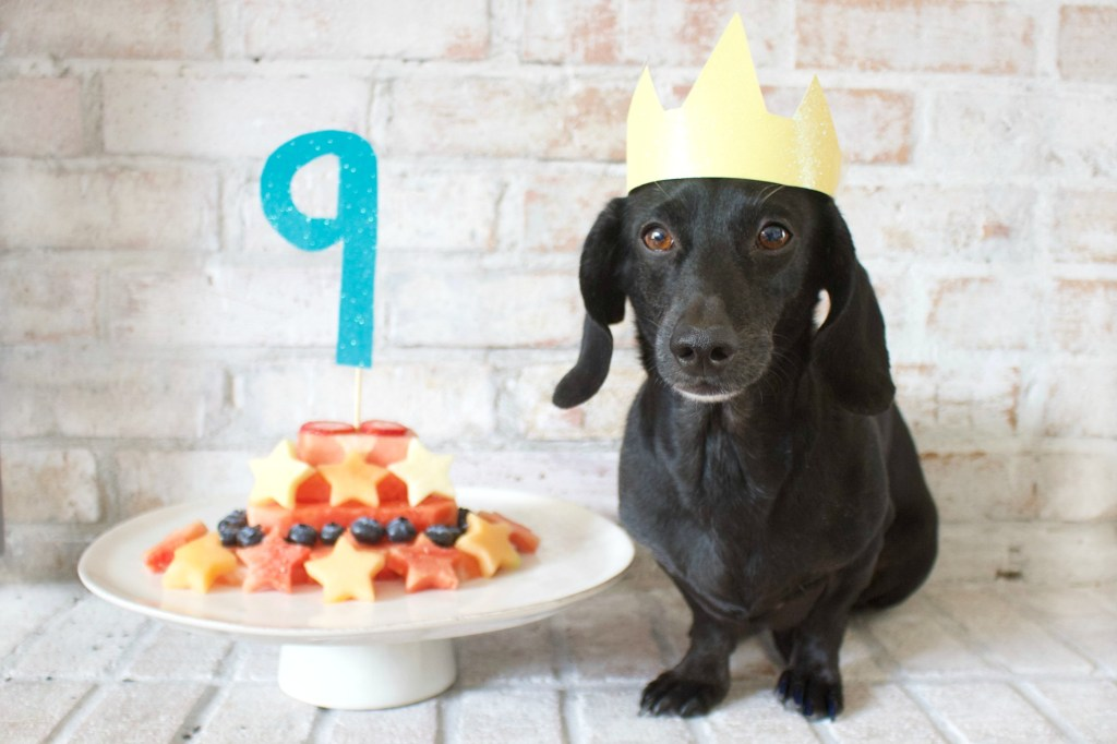 Dachshund with Birthday cake
