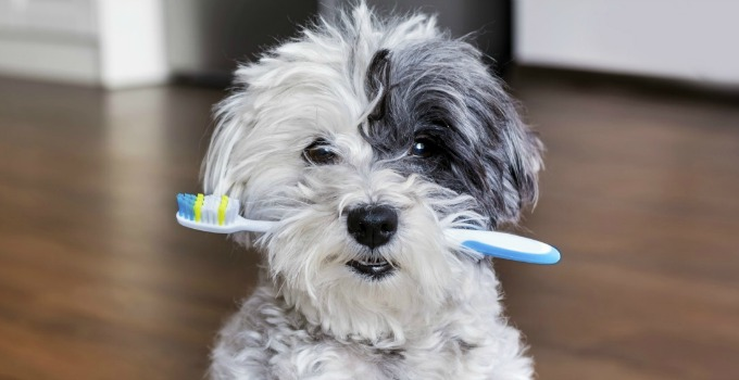Dog holding toothbrush in mouth