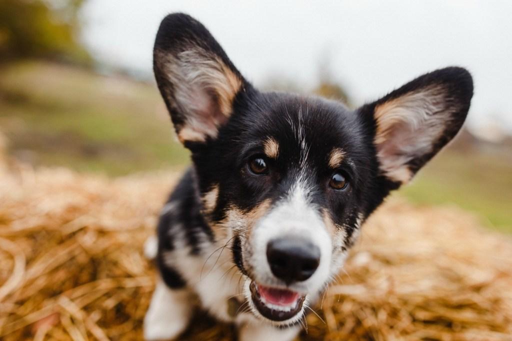 Close up of corgi dog enjoying the outdoors
