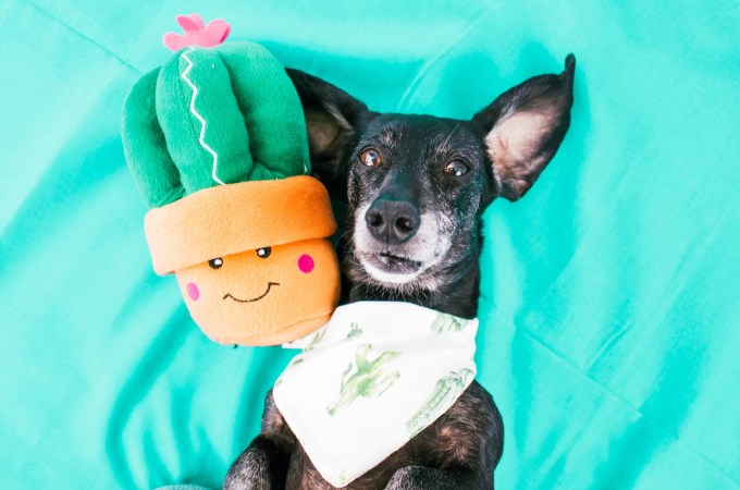 dachshund with zippypaws dog toy