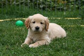 Puppy on the lawn
