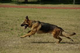 shepherd running