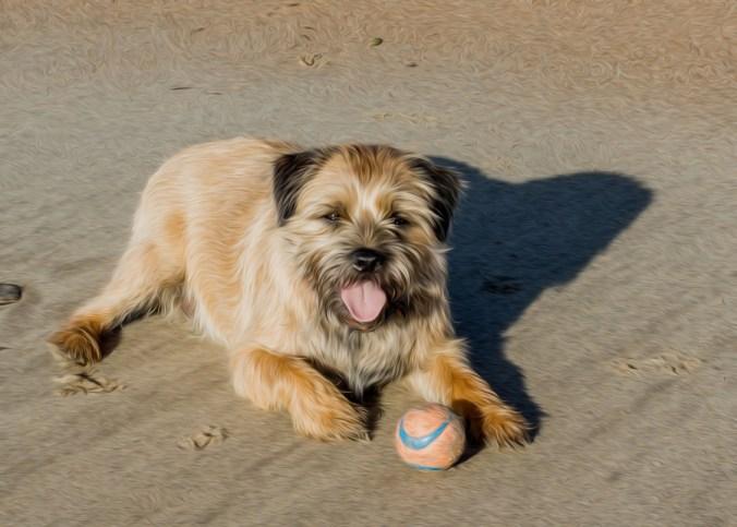 border terrier fetch