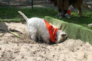 Westie digging toys