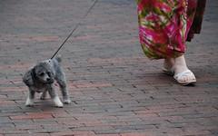 poodle walking