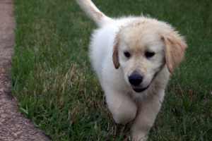 How much exercise does a Golden Retriever need - Barkercise