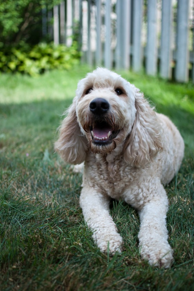 Guide To Goldendoodle And Labradoodle Exercise Requirements