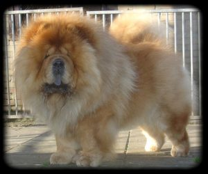 Chow Chow exercise