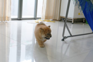 chow chow puppy exercise