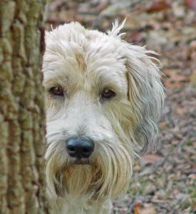 Wheaten Terrier exercise