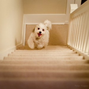 Dog running up the stairs