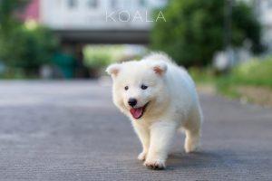 samoyed puppy exercise
