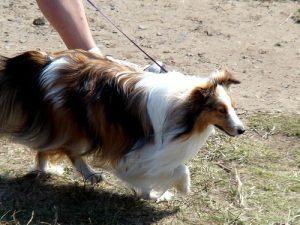 Shetland Sheepdog on a leash