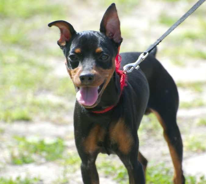 """Miniature Pinscher walking Photo credit: <a href=""""https://visualhunt.co/a5/d78f7ee3"""">glenn_e_wilson</a> on <a href=""""https://visualhunt.com/re7/f853ad17"""">VisualHunt</a> / <a href=""""http://creativecommons.org/licenses/by/2.0/""""> CC BY</a>"""