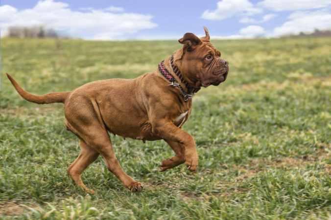 Dogue de Bordeaux running on a grassy field