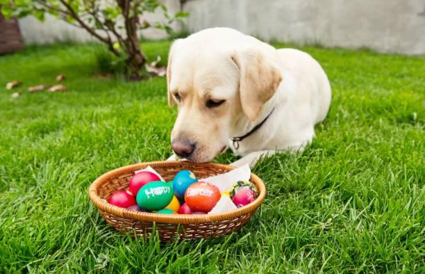 Yellow labrador retriever dog sitting on grass in backyard near an basket with Easter eggs