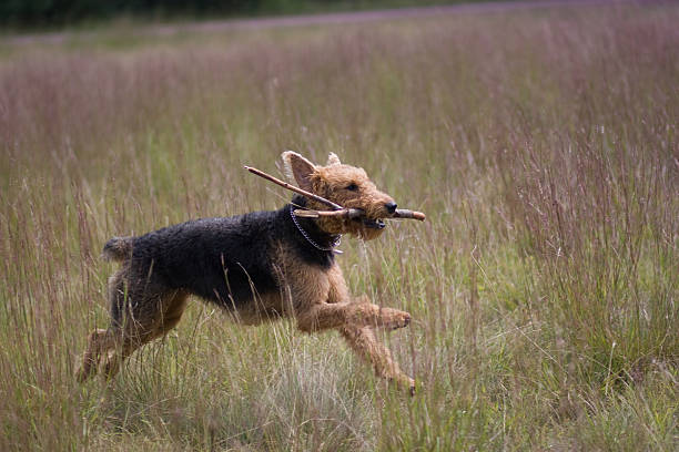 Airedale Terrier holding sticks in his mouth