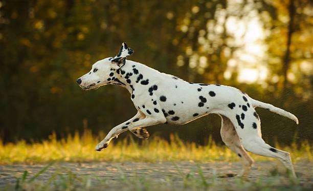 Dalmatian Running