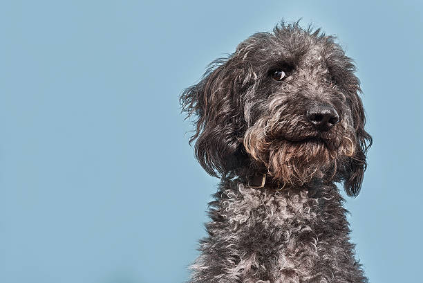 Studio portrait of a grey Labradoodle with a humorous and suspicious look on his face.