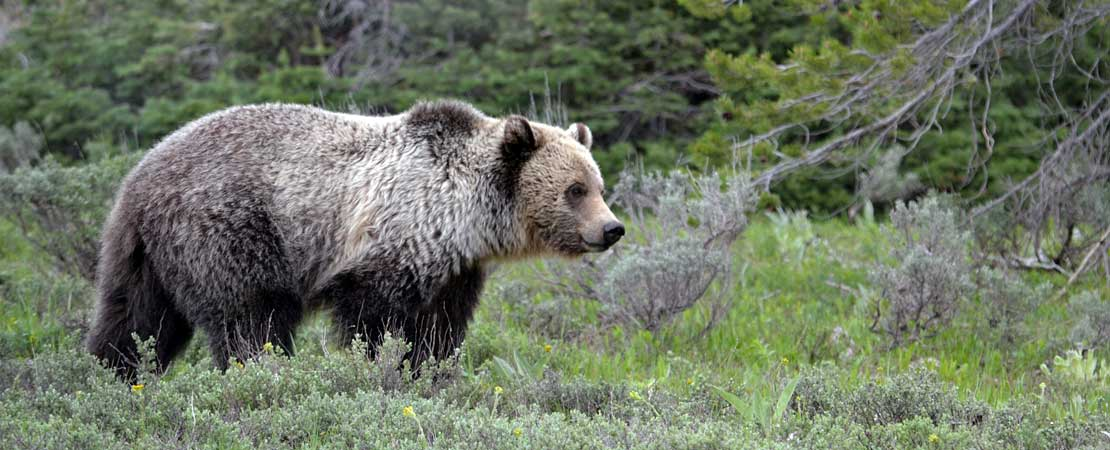 Grizzly bear photo - taken on a Barker Ewing Grand Teton Scenic Float Trip, photo courtesy of Brett & Jude Haywood