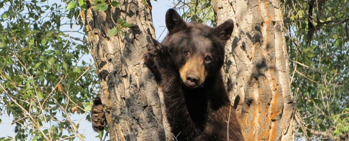Black bear climbing tree - Wildlife in Jackson Hole & Grand Teton National Park