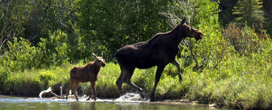 Cow and calf moose crossing the Snake River - Wildlife in Jackson Hole & Grand Teton Ntl Park