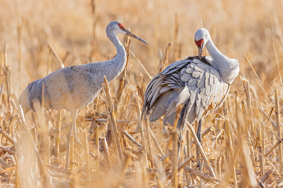 sandhill crane - Grand Teton float trips