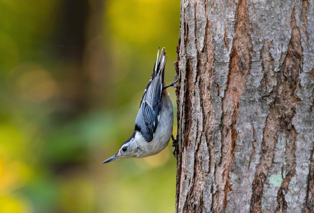 learning from a nuthatch