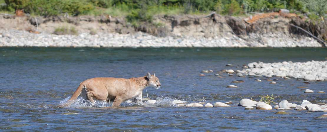 Mountain Lion seen on Barker Ewing Scenic Snake River Float Trip, Photo credit: © Christine Chance