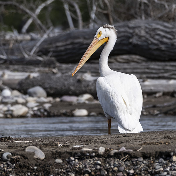 white pelican on a Barker-Ewing Scenic Float Trip