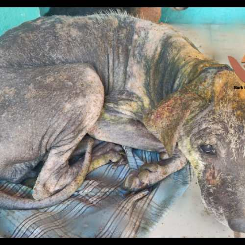 Street dog with skin problems and wound rescued