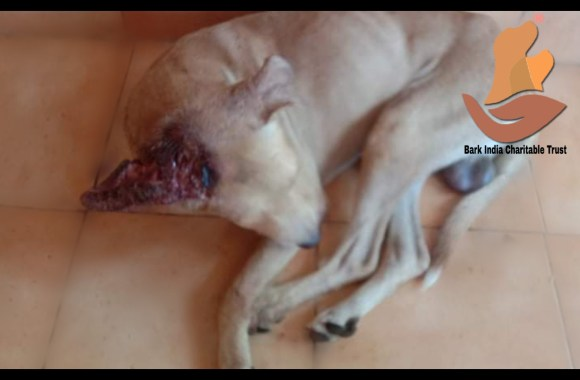 Head wound dog rescued- Dog rescue and treatment