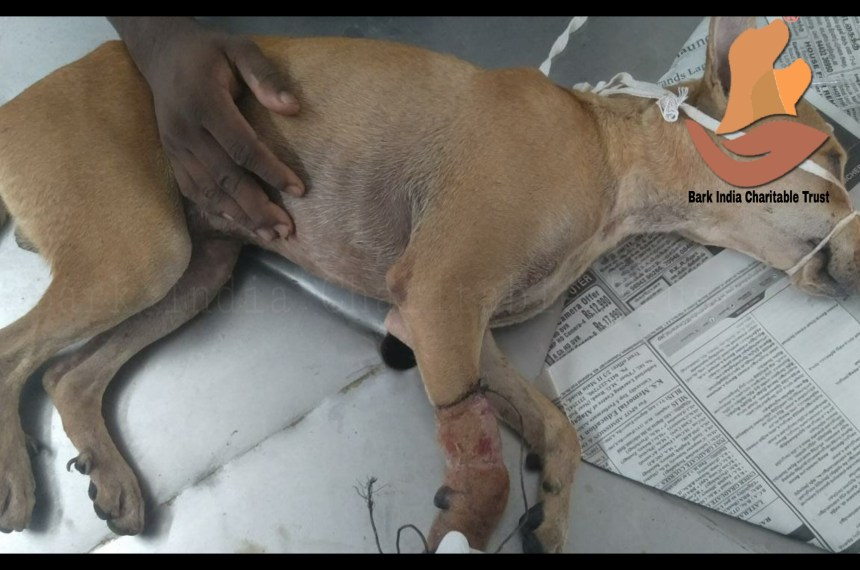 Metal wire stuck on leg dog rescue- Animal rescue and veterinary treatment in Pondicherry