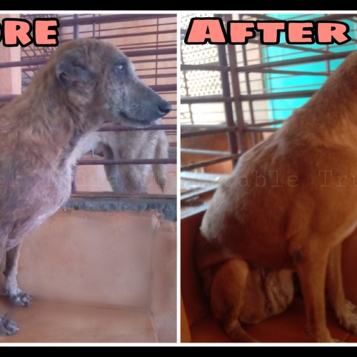 Tumor Dog Rescue, Treatment and Recovery- Veterinary hospital for street animals