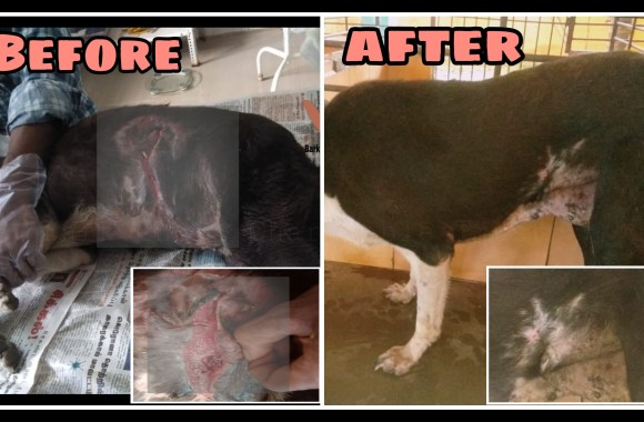 Stomach wound dog recovery- Veterinary hospital and Rescue Centre for strays