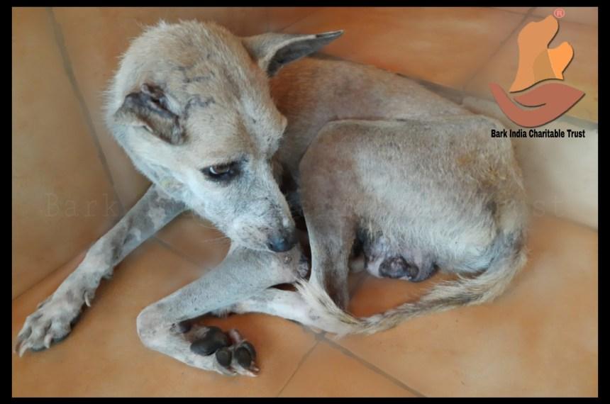 Transmissible Venereal Tumor affected stray dog rescue