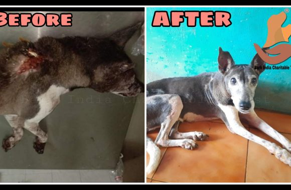 Human cruelty victim dog- Rescue, Treatment and Recovery- Animal Welfare Organisation