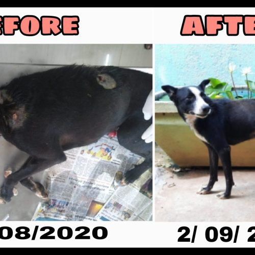 Rescued dog with CTVT and wounds- Recovery