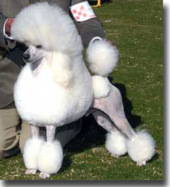 Grooming The Miniature Poodle Continental Trim