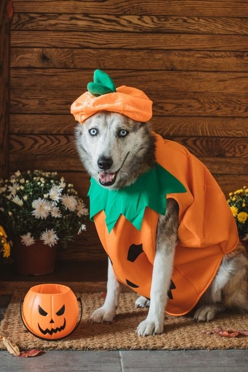 dog in pumpkin costume ready to play a game.