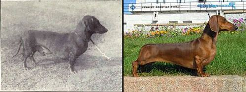 dog evolution, dog breeder, dachshund, hot dog dog, hunting dog, dog advice, dog help, dog advice, dog enthusiasts, canine guide, evolution of canines, dog breeds history