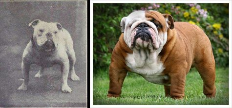 dog evolution, dog breeder, english bulldog, guard dog, bully breed, apbt, dog advice, dog help, dog advice, dog enthusiasts, canine guide, evolution of canines, dog breeds history